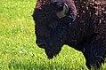 Bison (27588931732).jpg