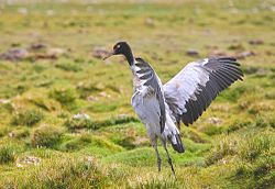 Black-Necked Crane.jpg