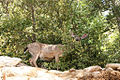 Black-Tailed Deer (10332691506).jpg
