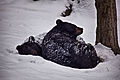 Black-bears-sleeping-snow - Virginia - ForestWander.jpg