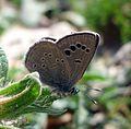 Black-eyed Blue. Glaucopsyche melanops. - Flickr - gailhampshire (4).jpg