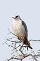 Black-shouldered kite Elanus caeruleus (2155234446).jpg