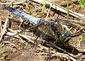 Black-tailed Skimmer. Orthetrum cancellatum. Mature male. - Flickr - gailhampshire.jpg