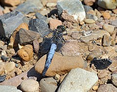 Black-tailed Skimmer.jpg