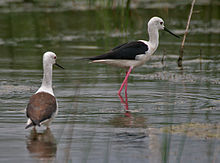 Black-winged Stilt (Himmantopus himantopus)- Immature & Adult near Hodal I Picture 2107.jpg