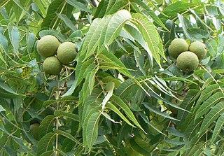 <i>Juglans nigra</i> species of plant