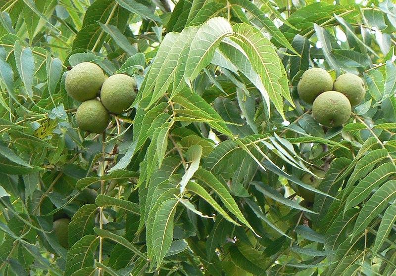 Black Walnut Nut