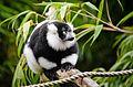 Black and white Ruffed Lemur (22180013424).jpg