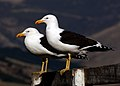 Black back gulls.NZ (9794565953).jpg