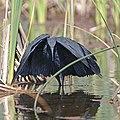 Black heron, Egretta ardesiaca at Marievale - how it fishes (26342749189).jpg