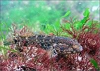 Black Sea goby