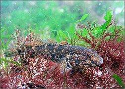 Black sea fauna goby 01