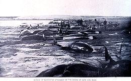 Spiaggiamento di cetacei