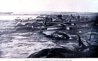 Cetacean stranding phenomenon in which a whale becomes stuck on a beach, often causing the whales death