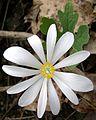 Bloodroot (Sanguinaria canadensis) - Flickr - Jay Sturner (2).jpg