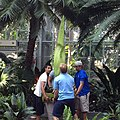 "Bloom watch- rotating 'corpse flower' now 79"" tall, 62"" on Sat. -stinkyplant (9301260336).jpg"
