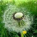 Blown blowball - Flickr - Stiller Beobachter.jpg