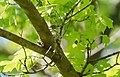 Blue-gray Gnatcatcher on nest (34281978216).jpg