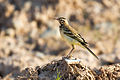 Blue-headed Wagtail juvenile.jpg