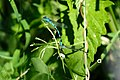 Blue Damselflies land after clasping.jpg