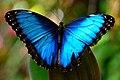 Blue Morpho (11786190916).jpg