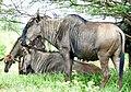Blue Wildebeests (Connochaetes taurinus) (51129163963).jpg