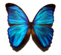 Blue morpho butterfly 300x271.png