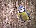 Blue tit (40238947411).jpg
