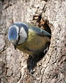 Blue tit at nest hole.JPG