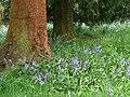 Bluebells and redwood - geograph.org.uk - 788363.jpg