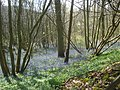 Bluebells at Castle Coppice - geograph.org.uk - 915923.jpg