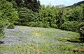 Bluebells below Aaron's Hill - geograph.org.uk - 286362.jpg
