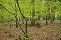 Bluebells in Plymbridge Woods (4568).jpg