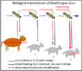 Bluetongue-virus-transmission-by-culicoides.png