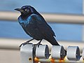 Boat-tailed Grackle - Quiscalus major, Delaware Seashore State Park, Rehoboth Beach, Delaware (24937763117).jpg