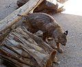 Bobcat. Lynx rufus - Flickr - gailhampshire (1).jpg