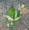 Bocconia latisepala 1.jpg