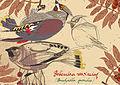 Bohemian waxwings - Joanna Machowska.jpg