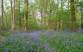 Ghlin - Bluebell wood in Ghlin