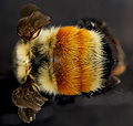 Bombus huntii, M, back2, Pennington County, South Dakota 2012-11-15-16.42.02 ZS PMax (8209118995).jpg