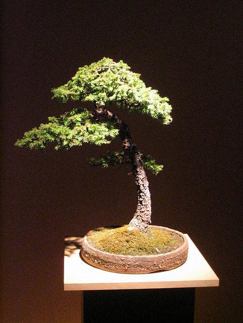 Bonsai documenti foto e citazioni nell enciclopedia treccani for Dove comprare bonsai