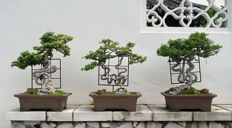 bonsai altehrw rdige b ume in der miniaturausgabe mein bester florist. Black Bedroom Furniture Sets. Home Design Ideas