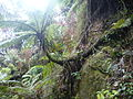 Bosque tropical Yunque helecho 11.JPG