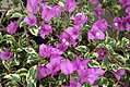 Bougainvillea blueberry ice 0zz.jpg
