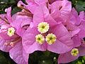 Bougainvillea glabra blossom - Thailand 2.jpg