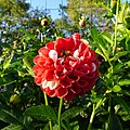 Bourdon roux sur une fleur, gare du Vivier d'Oie.jpg