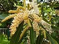 Brabejum stellatifolium - Cape Wild Almond Tree - Inflorescence detail.JPG