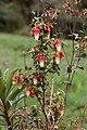 Brachyotum ledifolium (Melastomataceae) (45252103024).jpg