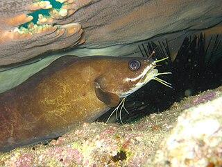 <i>Brotula multibarbata</i> species of fish