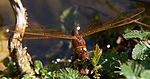 Brown Dragonfly 2 (7622689566).jpg